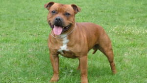 Staffordshire Bull Terrier Widescreen