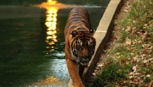 Sumatran Tiger 4k
