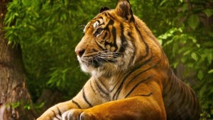 Sumatran Tiger Background