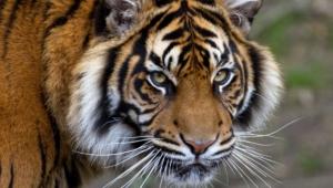 Sumatran Tiger Computer Wallpaper