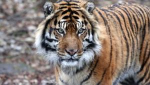 Sumatran Tiger Desktop