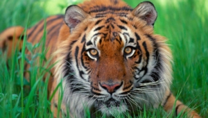 Sumatran Tiger Hd Desktop