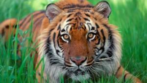 Sumatran Tiger Hd Desktop
