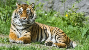 Sumatran Tiger Hd Wallpaper