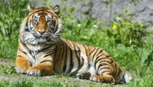 Sumatran Tiger Hd Wallpaper