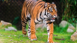 Sumatran Tiger High Definition