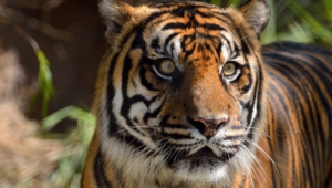 Sumatran Tiger High Definition Wallpapers