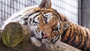Sumatran Tiger High Quality Wallpapers