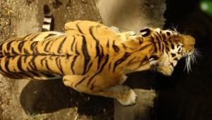 Sumatran Tiger Photos