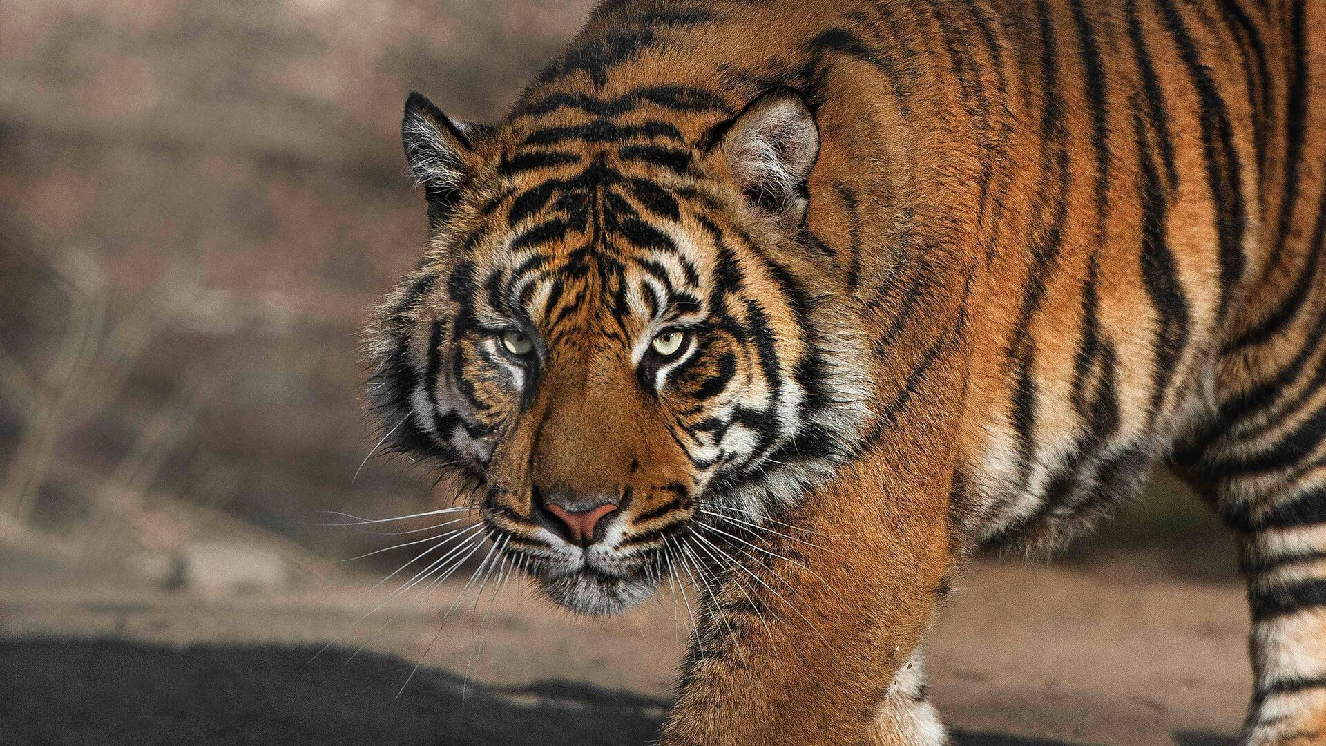 Information and Facts about Tigers and Types of Tigers and All types of tigers pictures