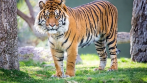 Sumatran Tiger Wallpaper