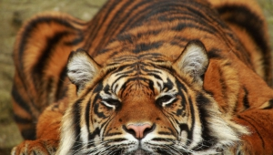 Sumatran Tiger Wallpapers Hd