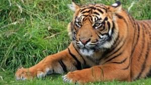Sumatran Tiger Wallpapers Hq