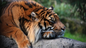Sumatran Tiger Widescreen