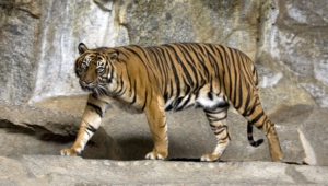 Sumatran Tiger For Desktop