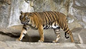 Sumatran Tiger For Desktop