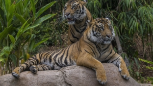 Sumatran Tiger Full Hd