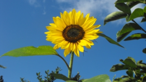 Sunflower Desktop Images
