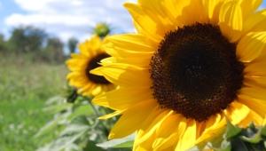 Sunflower Hd Background