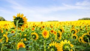 Sunflower High Definition