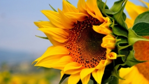 Sunflower High Definition Wallpapers