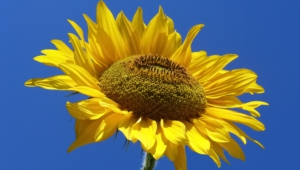 Sunflower Wallpaper For Computer