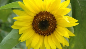 Sunflower Wallpaper For Laptop