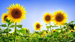 Sunflower Wallpapers Hq