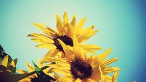 Sunflower For Desktop
