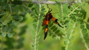 Tarantula Hawk Widescreen