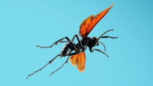 Tarantula Hawk Full Hd