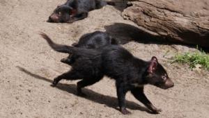 Tasmanian Devil Hd