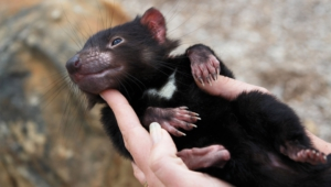 Tasmanian Devil Hd Background