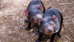 Tasmanian Devil Images