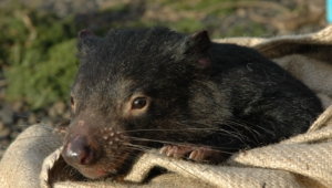 Tasmanian Devil Photos