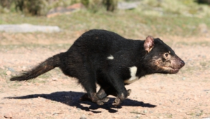Tasmanian Devil Wallpapers Hd