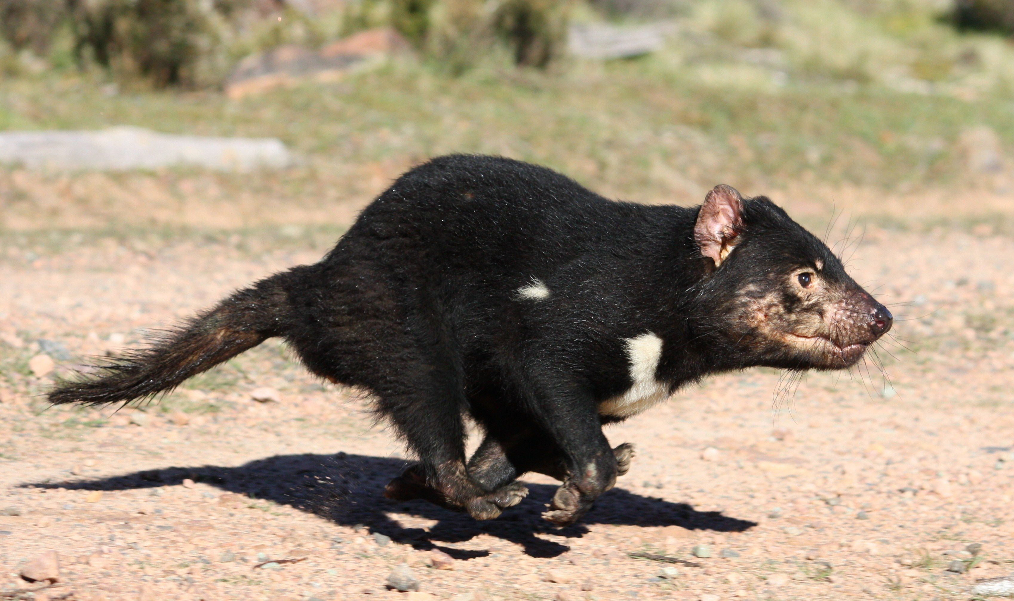 tasmanian devils Tasmanian devils are one of the few species on mobius that don't share the same intelligence as most mobians, despite once having been the most advanced culture in downunda.