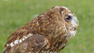 Tawny Owl Desktop
