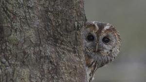 Tawny Owl Hd