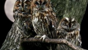 Tawny Owl High Definition