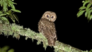 Tawny Owl High Definition Wallpapers