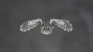 Tawny Owl Pictures