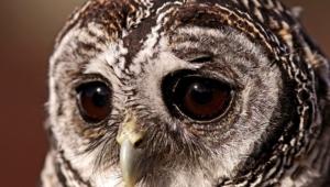 Tawny Owl Wallpaper