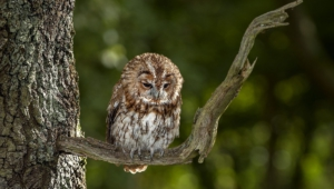 Tawny Owl Full Hd