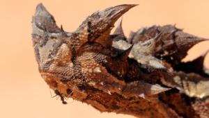 Thorny Devil 4k