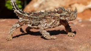 Thorny Devil Computer Wallpaper