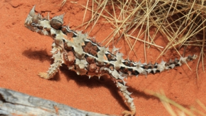 Thorny Devil Desktop