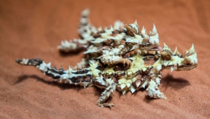 Thorny Devil Hd