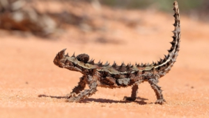 Thorny Devil High Definition