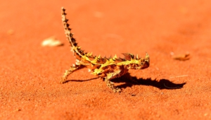 Thorny Devil Images